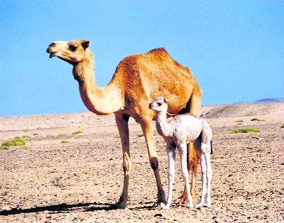 To save camel, Punjab govt plans tourism project