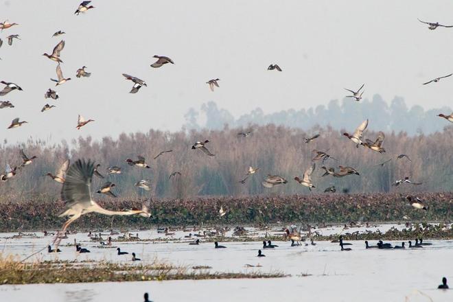 Drastic decline in avian guests at Harike wetland