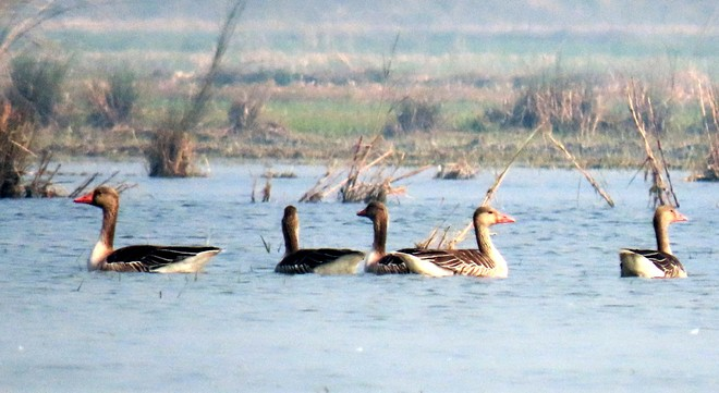 Fall in number of winged guests at four wetlands in Punjab