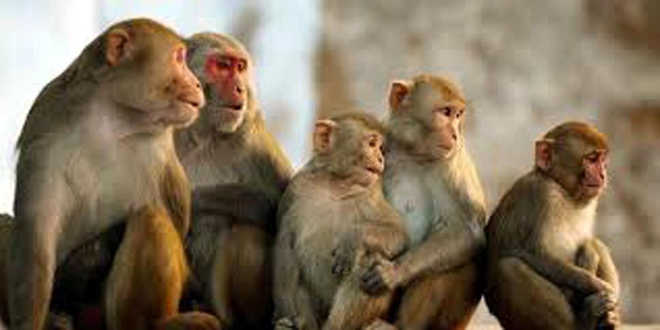 Telangana: Over 30 monkeys poisoned to death, stuffed in gunny bags
