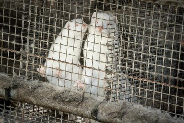 Scientists find evidence of two-way transmission of coronavirus on mink farms