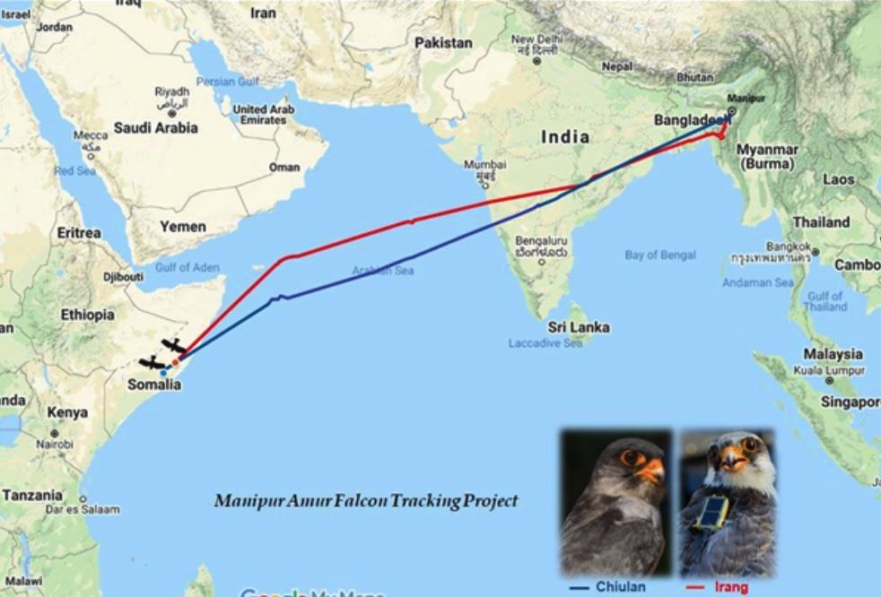 Radio-tagged falcons fly over 5,000 km non-stop across Arabian Sea