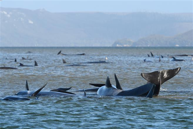 Nearly 100 whales die after mass stranding in New Zealand