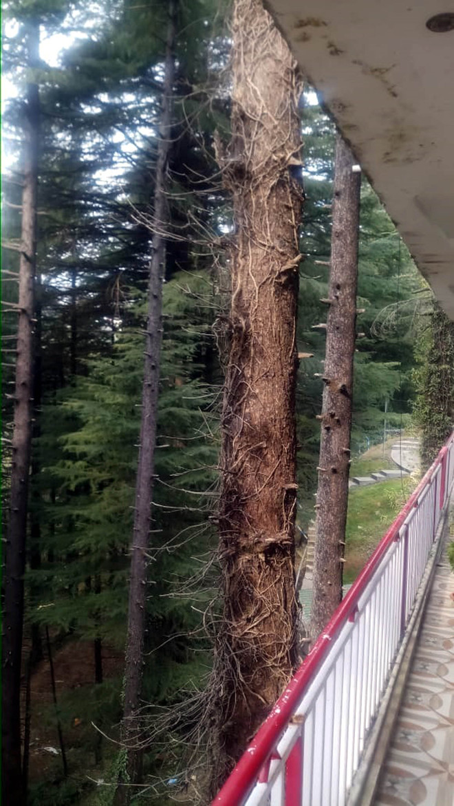 20 deodar trees dried up to raise illegal constructions