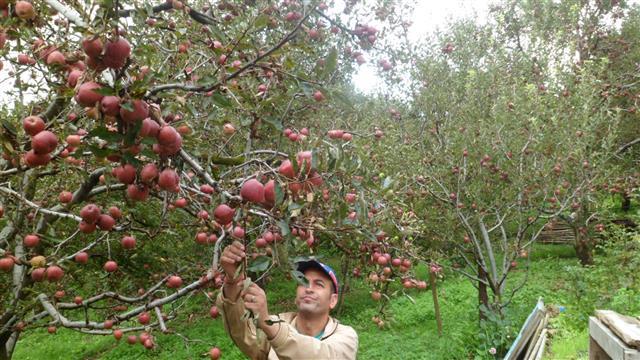 Himachal Apple farmers wary, seek screening of Nepalese workers