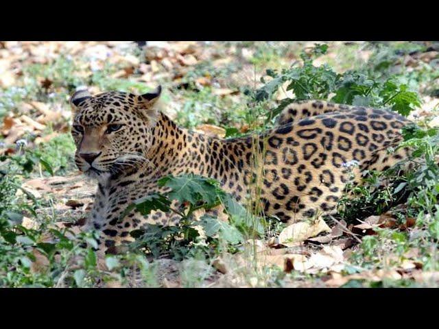 Residents report seeing leopard in Hoshiarpur
