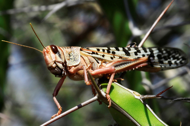 FAO warns of locust attack in Punjab again, eight districts on alert