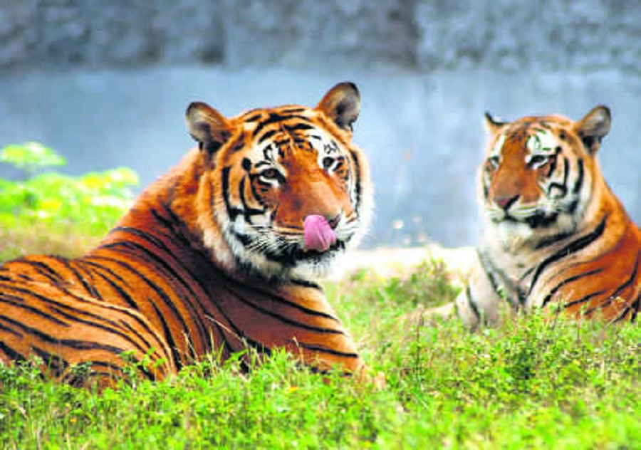 Do tigers and leopards drink blood?