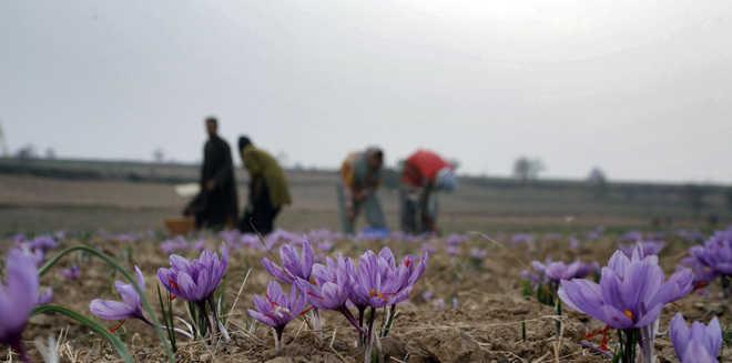 Kashmir saffron gets GI certification