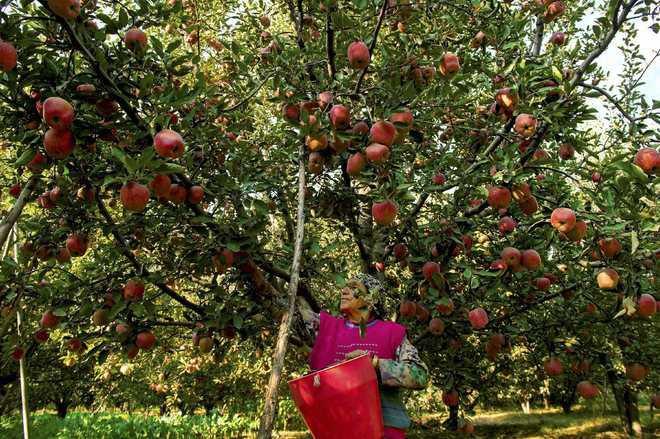 Apple-growing areas of Himachal yet to see arrival of Nepalese labourers
