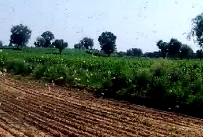 Two locust swarms back in Mahendragarh after 13 days