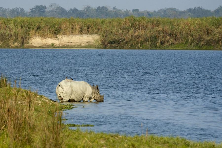 So far, 18 rhinos, 135 other animals dead in flooded Kaziranga