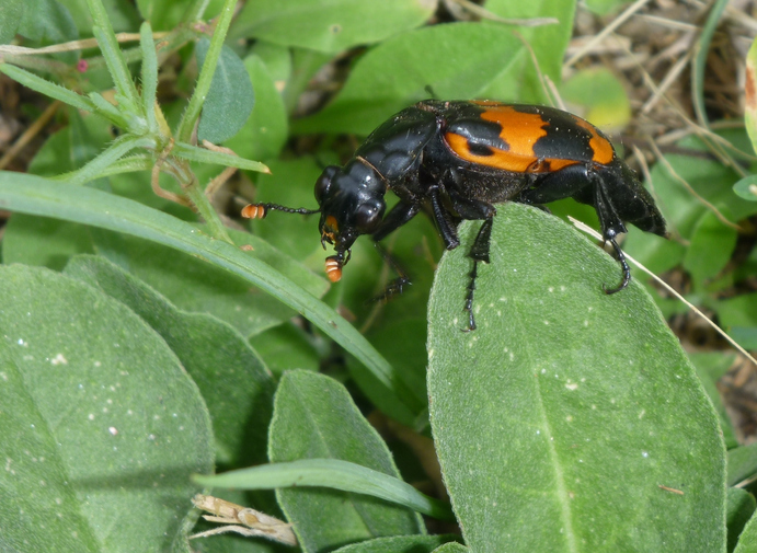 Beetle keeps rivals off scent of food buried for offspring - The Tribune