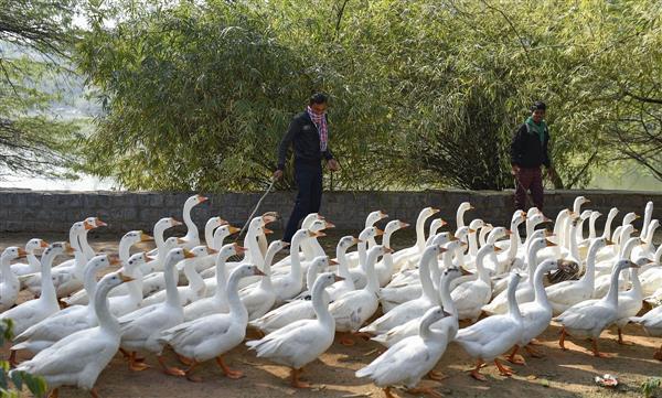 Only samples of ducks from Sanjay Lake tested positive for bird flu in Delhi: Manish Sisodia