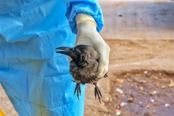 20 crows die in Delhi's Mayur Vihar, officials looking into bird flu angle