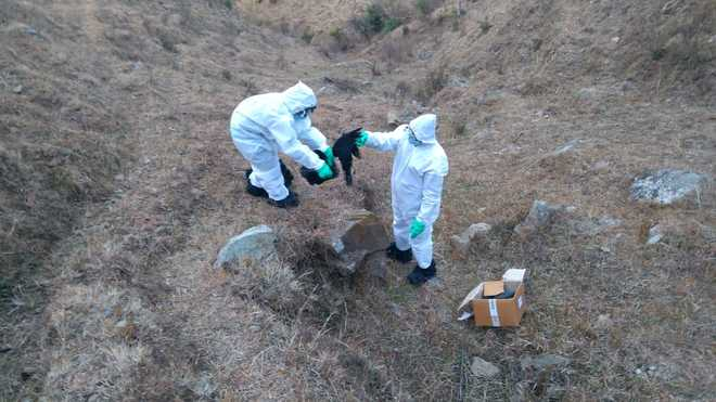 Samples of dead crows found -ve in Mandi district