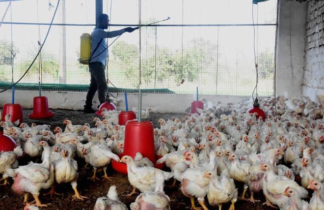 Bird flu virus is heat-labile, gets killed at 'cooking temperature'
