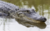 'Punctuated equilibrium' reason behind crocodile's evolution: Study