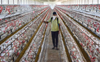Sale of poultry products banned in Delhi; bird flu cases reported in Uttar Pradesh