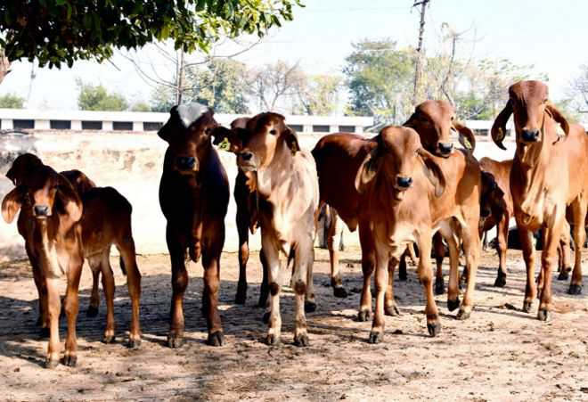 DNA sequence of 50 indigenous cattle breeds decoded
