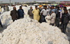 Farm stir triggers threefold rise in purchase of cotton on MSP in Punjab