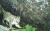73 endangered snow leopards in Himachal