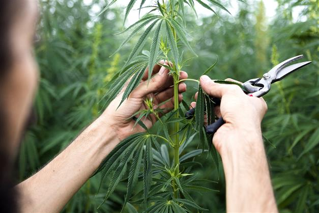 Overwhelmed by illegal pot, Oregon county declares emergency