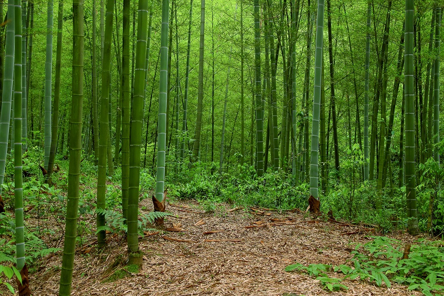 China has over 6 mn hectares of bamboo forests