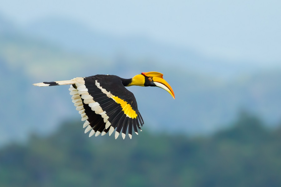 Hornbills create orchards in Arunachal's tropical forests