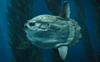 Record 2-tonne sunfish found off the coast of Ceuta