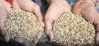 Tarn Taran: Getting rotten wheat, complain residents of Palasaur village
