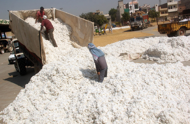 Cotton growers fall prey to 'middlemen' in Punjab