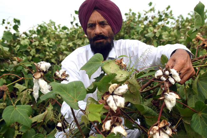 Rain damages paddy, cotton crops in Bathinda, Mansa districts