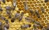 Stung by hornets, elderly Una man dies