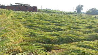 Rain damages basmati, potato crops in district