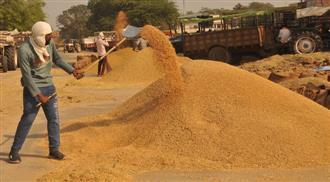 Showers ahead: Farmers hasten harvesting after Met forecast