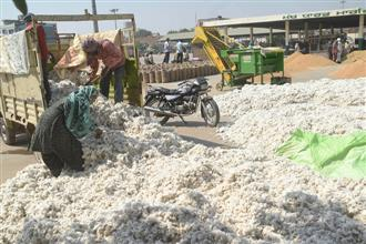Anticipating price hike, Punjab cotton growers hold back produce