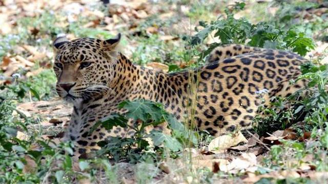 Minor girl killed in leopard attack in MP