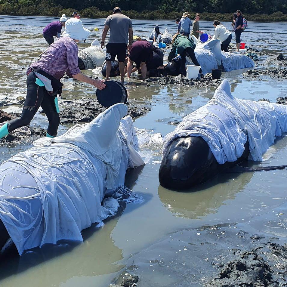 40 beached whales refloated in New Zealand but fears remain