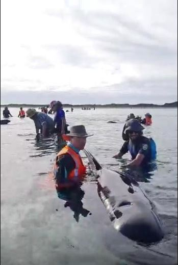 Dozens of whales stranded off New Zealand's South Island
