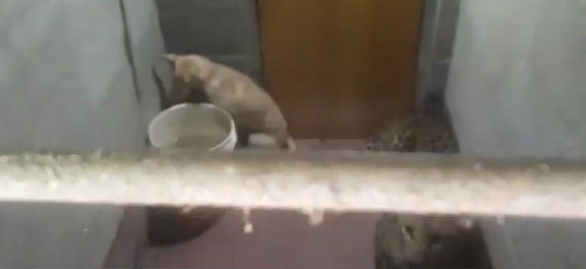 कुत्ते द्वारा तेंदुए का पीछा कर्नाटक घर के वॉशरूम में 6 घंटे तक पड़ा रहा जब मालिक ने दोनों जानवरों को बंद कर दिया: