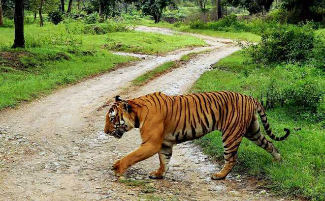 Study suggests habitat loss is leading to inbreeding of Indian tigers