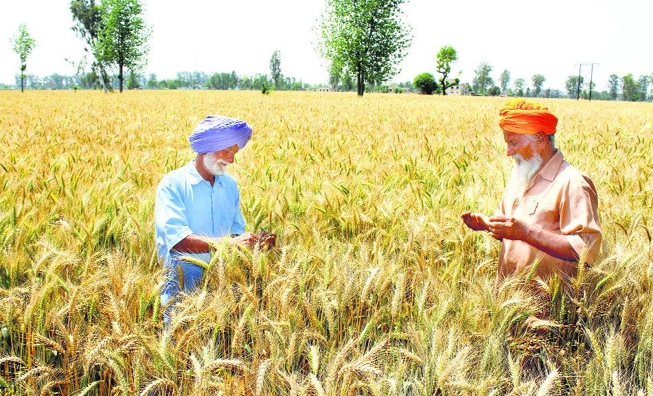 Increase in temperature may affect wheat yield: Experts