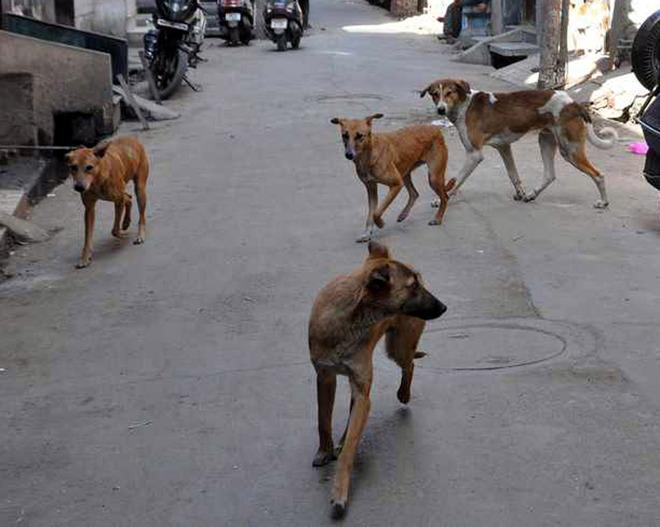 Civic body to put leash on stray dog menace in Amritsar