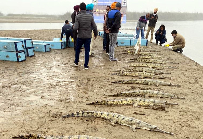 23 gharials released into Beas