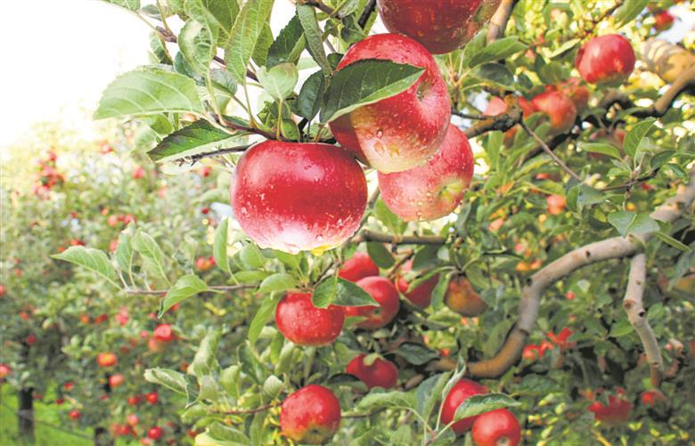 Inspired by Himachal's Hariman Sharma, 2 tribal youths grow apples in Tripura