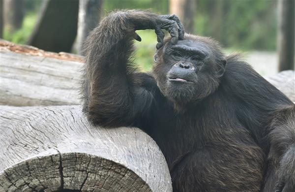 9 great apes in San Diego become first non-human primates vaccinated for  COVID-19 : The Tribune India