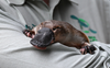 Australia building world's first platypus sanctuary