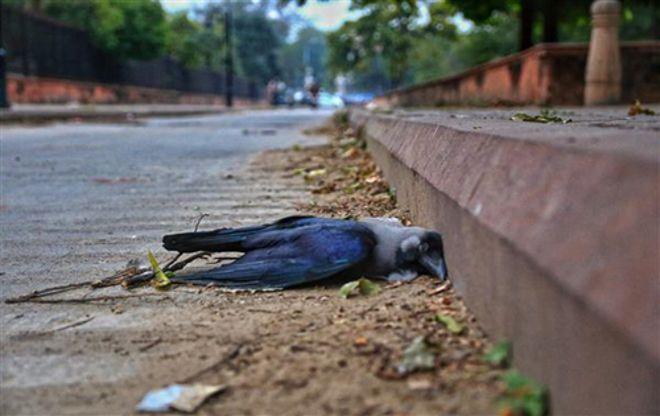 Crow's sample +ve for bird flu in Theog