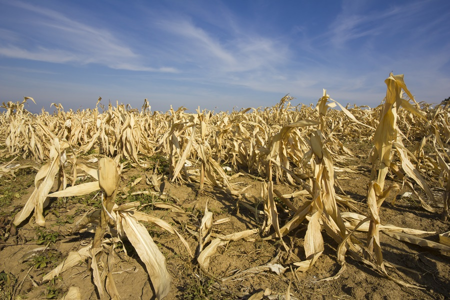 Ozone pollution harms maize crops